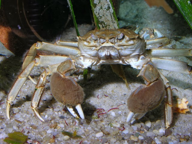 Non-native invasive species - The Chinese mitten crab