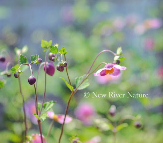 The Art of Flowers - Japanese Anemone