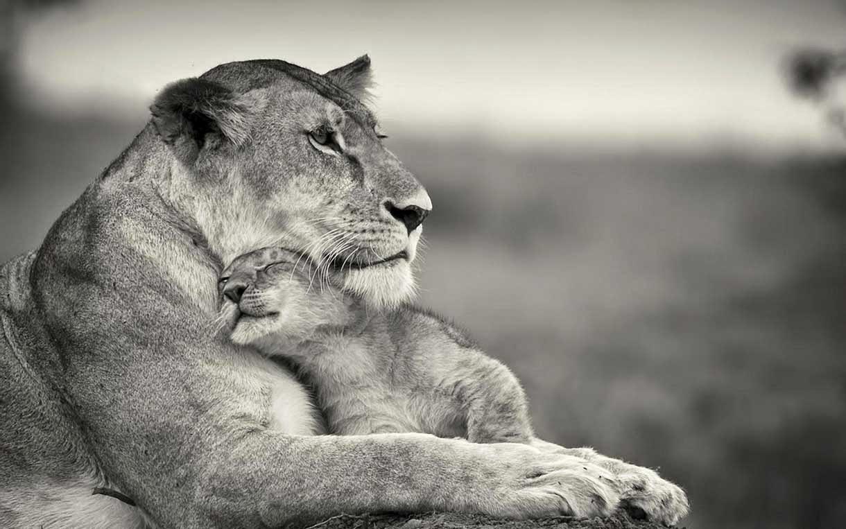 Cute Lions Love