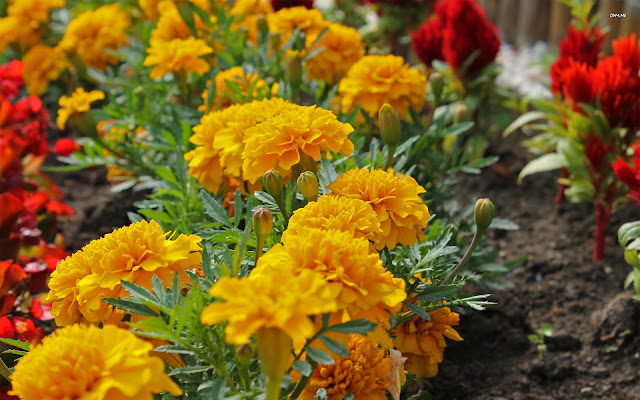 Marigold Flower Tihar