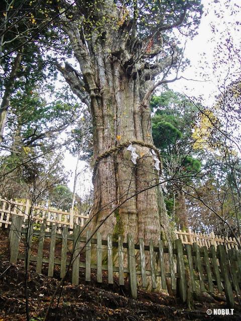 奈良県十津川村「玉置神社」の神代杉
