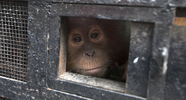 La desgarradora historia de una cría de orangután que se abrazaba a sí mismo para dormir