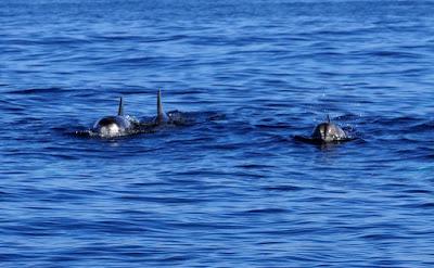 Avistamiento de delfines en Mallorca con Pescaturismo