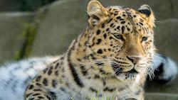 Amur Leopard desktop