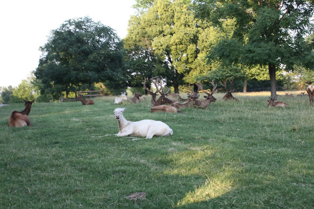 Elk relaxing in the evening at Grant's Farm