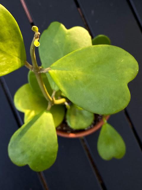Hoya Kerii
