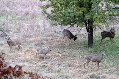 pear tree surrounded by five whitetails, 2014