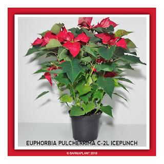 Poinsettia-Euphorbia-Pulcherrima-C2L-Icepunch-2018