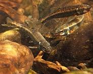 De elrits is teruggekeerd in een groot deel van zijn voormalige leefgebieden. Desondanks is het door zijn beperkte verspreiding nog altijd een gevoelige soort. Foto artikel Kleur bekennen: nieuwe Rode Lijst zoetwatervissen laat lichte verbetering zien