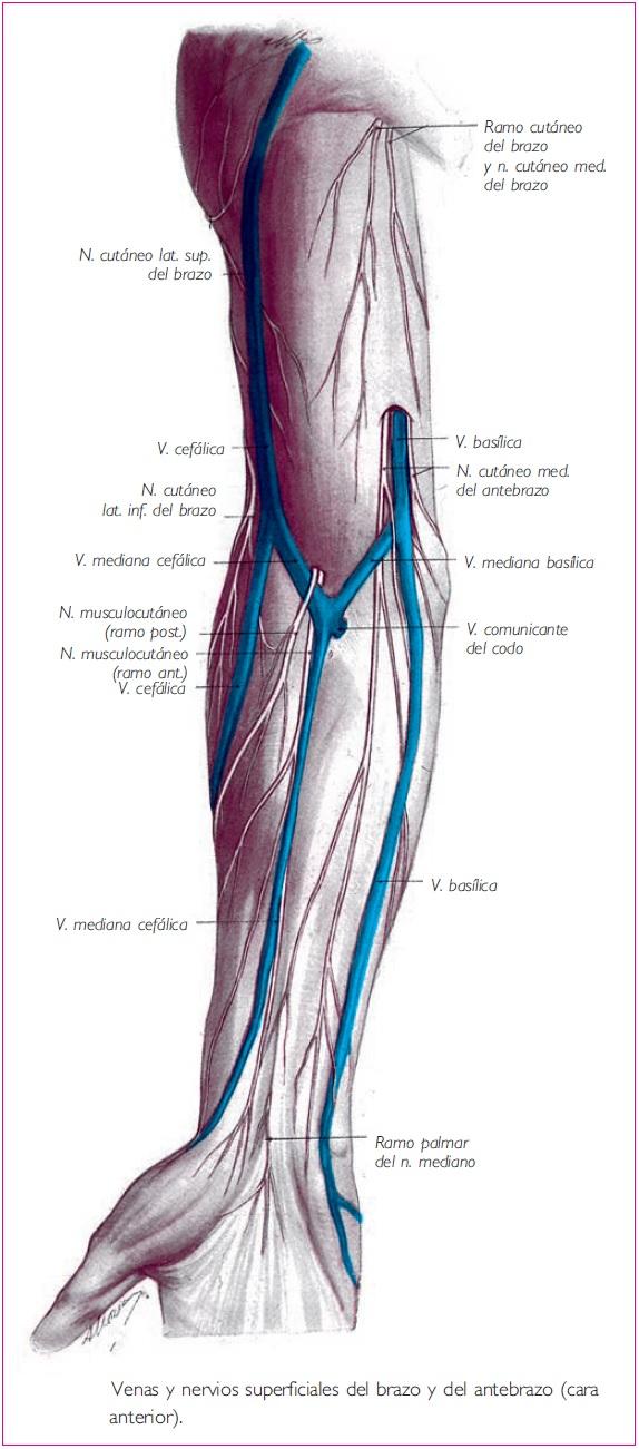 Perfecto Anatomía Venosa Parte Superior Del Brazo Patrón - Anatomía ...