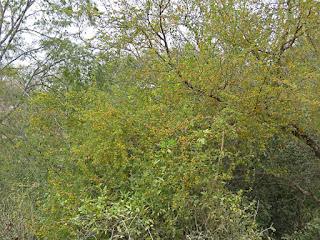 Acacia farnesiana, Sweet-ball Acacia, Huisache