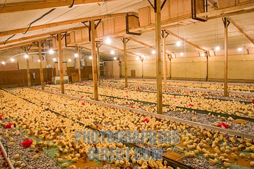 How To Start Poultry Farming In Nigeria Best Guide