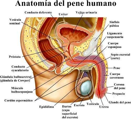 Partes del pene humano