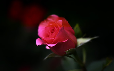 red rose close up widescreen resolution hd wallpaper
