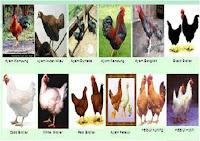 varietas ayam
