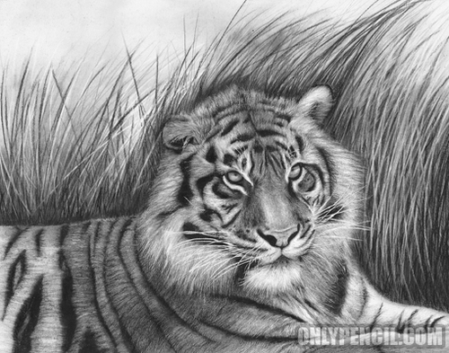18-Sumatran-Tiger-Lisandro-Peña-Animal-Drawings-with-Attention-to-Minute-Details-www-designstack-co