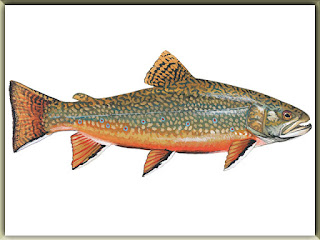 Brook Trout Fish Pictures