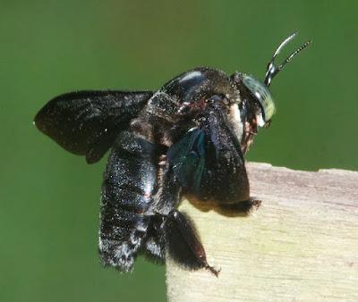 Giant Carpenter Bee (Xylocopa latipes)