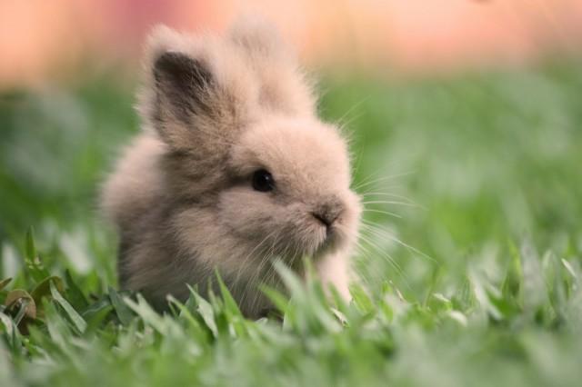 fluffy baby bunny - photo #41