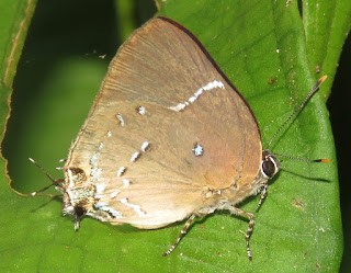 Oenomaus atena, Atena Hairstreak