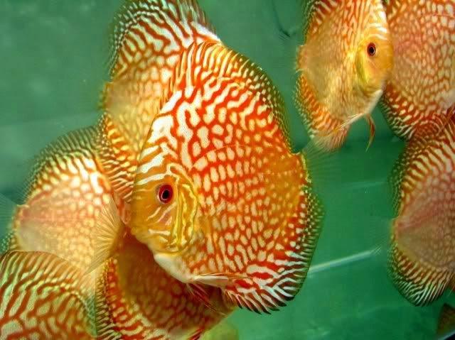 Ikan Paling Mahal