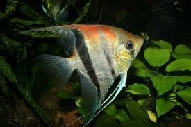 Budidaya Ikan Hias Manfish