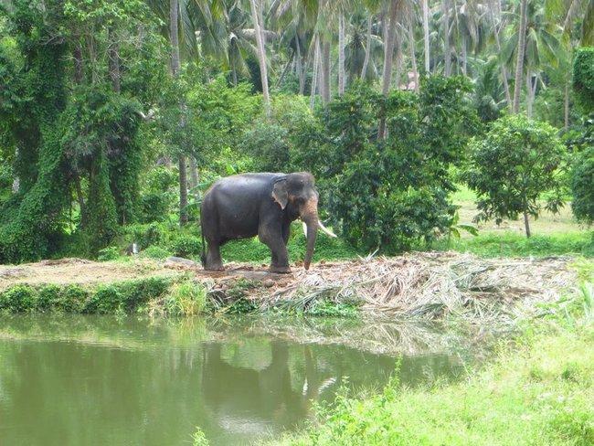 Слон возле озера
