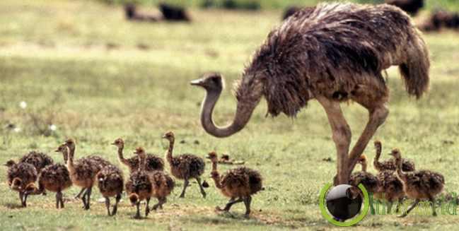 Burung Unta Afrika