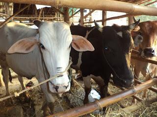Bagaimana dan Berapakah Upah yang Diberikan Kepada Tukang Jagal Hewan Kurban sapi hewan kurban