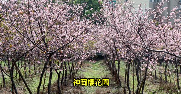 台中神岡|神岡櫻花園|櫻花秘境|數百棵各品種櫻花|平地賞櫻另一選擇