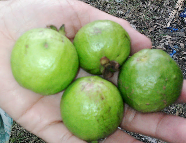 Freshly Picked Guavas