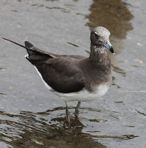 Indian birds - Image of Sooty gull - Larus hemprichii
