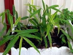 Growing Ginger in a Pot