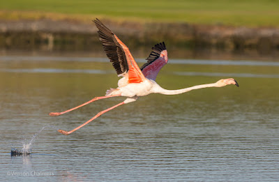 Early Morning Flamingo Take-Off Manoeuvre - Woodbridge Island
