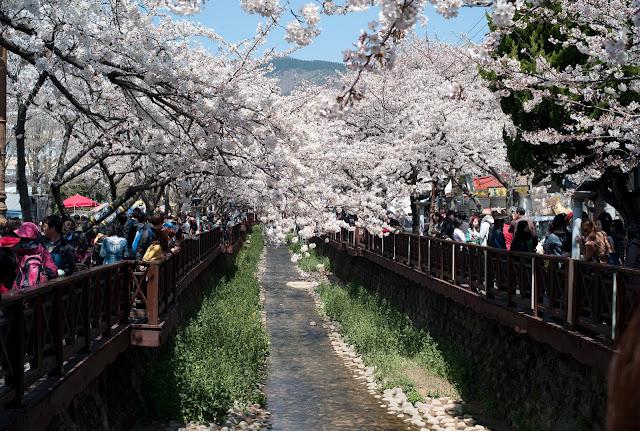 Lễ hội hoa anh đào lớn nhất tại Hàn Quốc có tên Jinhae Gunhangje nằm tại Quận Jinhae, tỉnh Gyeongsang, chỉ cách Seoul 4 giờ đi bằng xe buýt. Cầu Yeojwacheon đẹp như tranh vẽ, nơi có những tán hoa anh đào rủ xuống dòng suối Yeojwacheon là một trong những địa điểm đẹp nhất tại Hàn Quốc vào mùa xuân.     Bạn cũng có thể thưởng thức nhiều món ăn đường phố, từ các món ăn truyền thống như mực nhồi và các loại bánh Hàn Quốc đến các món ăn theo mùa như bánh mì hoa anh đào, bánh đào có hình hoa anh đào.