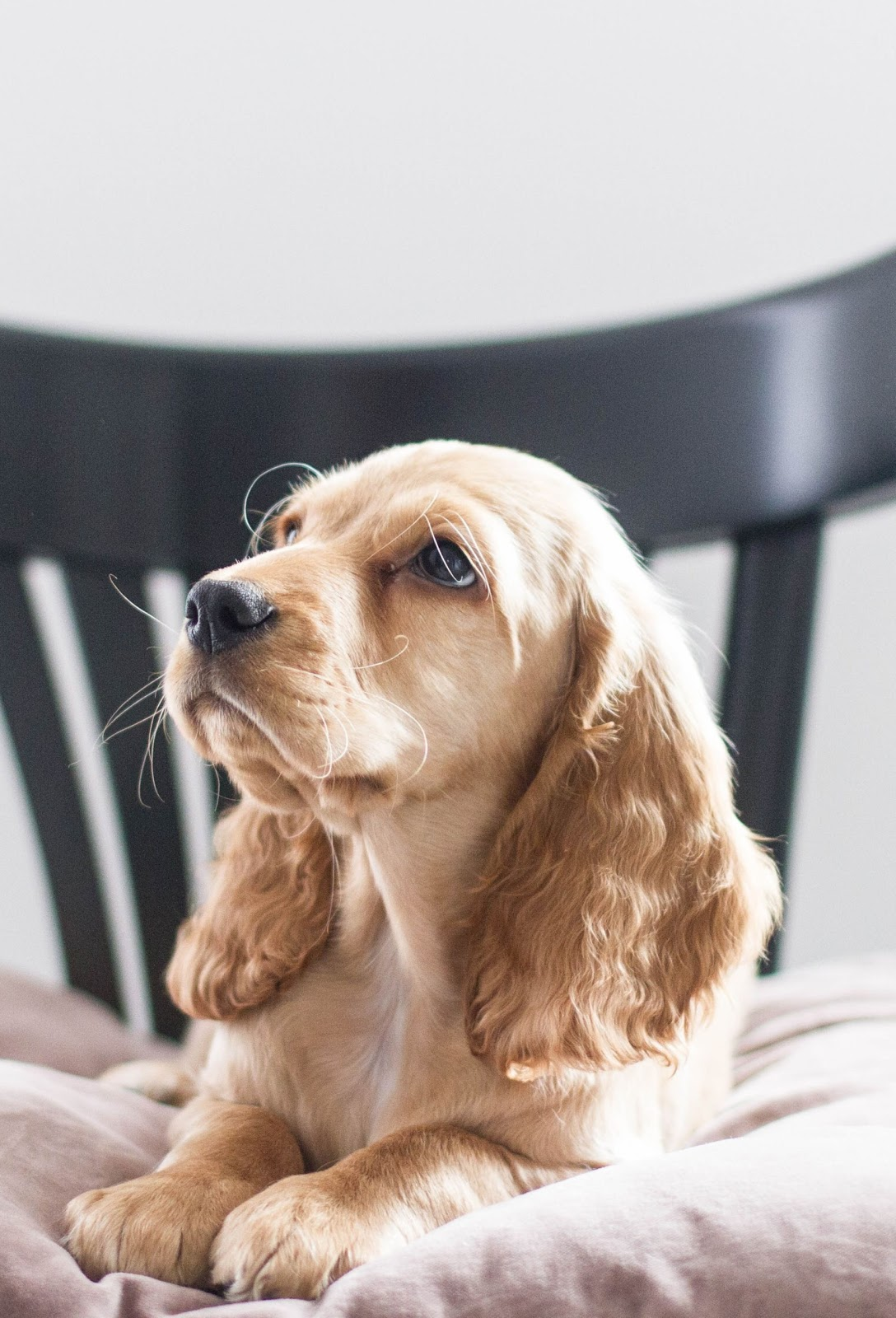 szczeniak | spaniel | adopcja psa