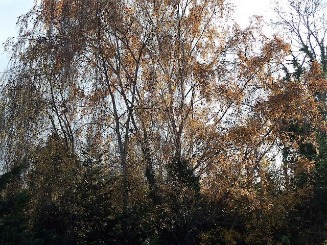 Silver birch from my bedroom window