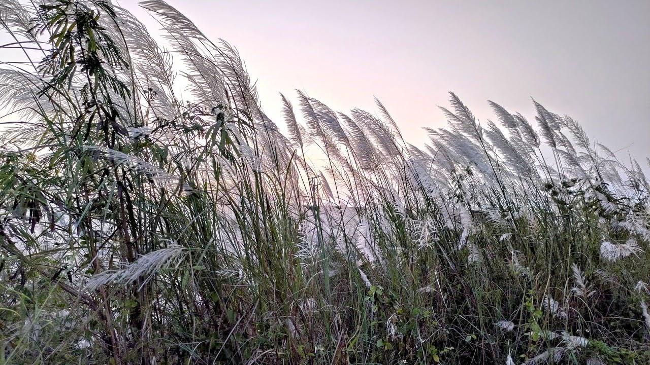 暮秋大內橋下再現雪景|曾文溪畔甜根子草花季來臨|活動