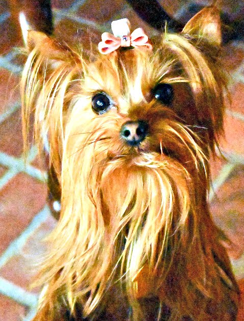 Duchess of Yorkie