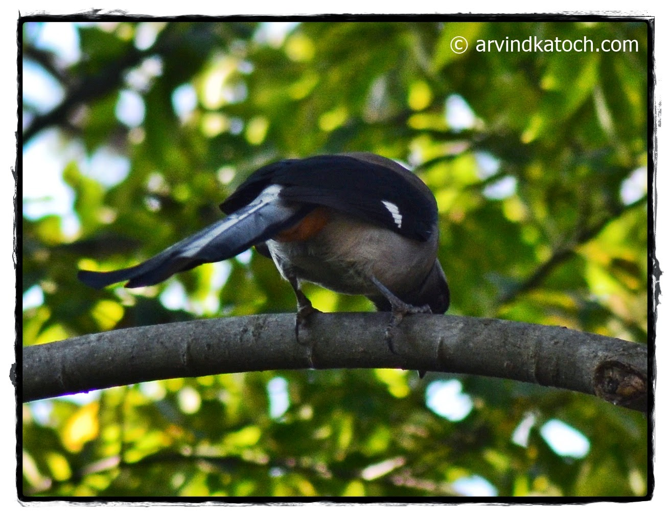Grey Treepie, Back