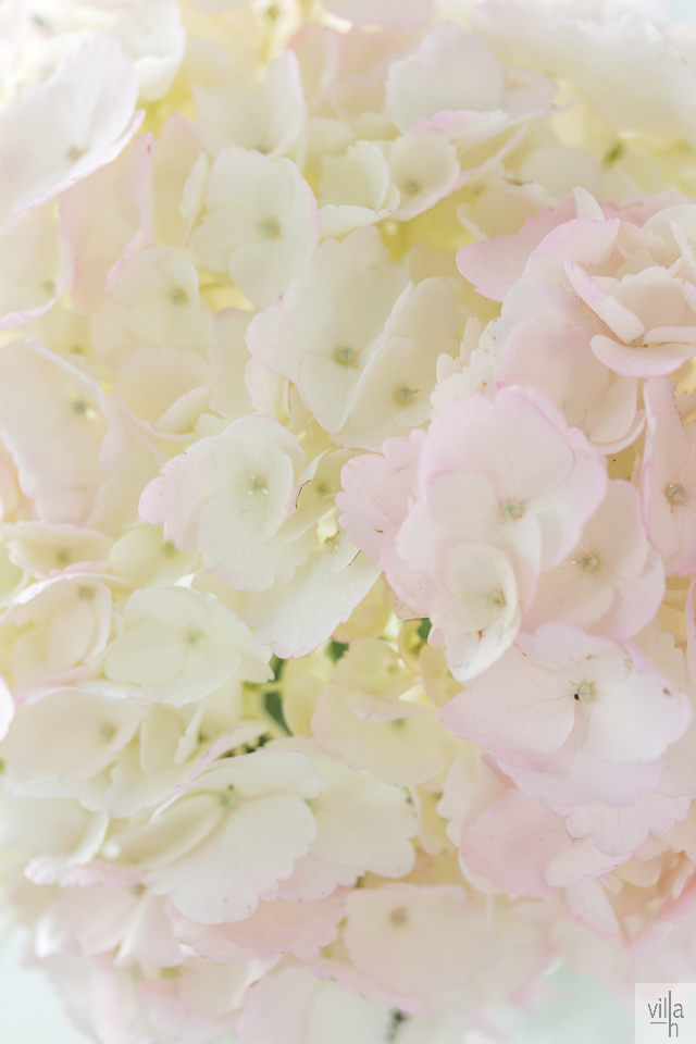 hortensia, kukat