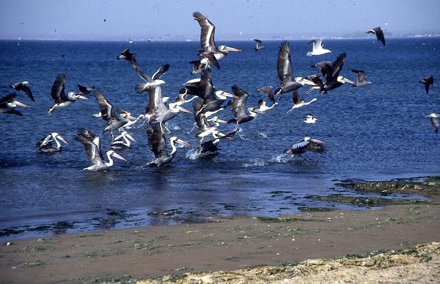Pelicanus thagus
