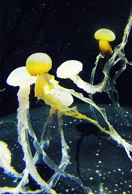 Kumpulan Foto Jelly Fish Dari S.E.A Aquarium Singapore
