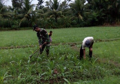 Serda IN. Tambunan Dampingi Anggota Poktan Jasa Tani Lakukan Penyiangan di Desa Namotongan