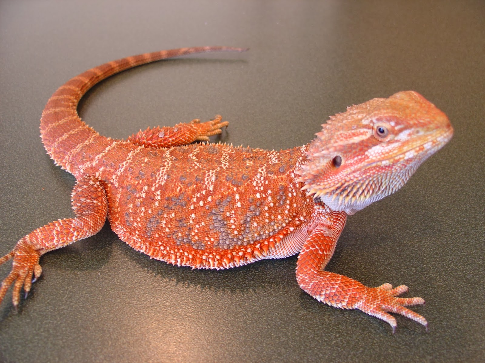 Welcome: Bearded Dragon (or Pogona)