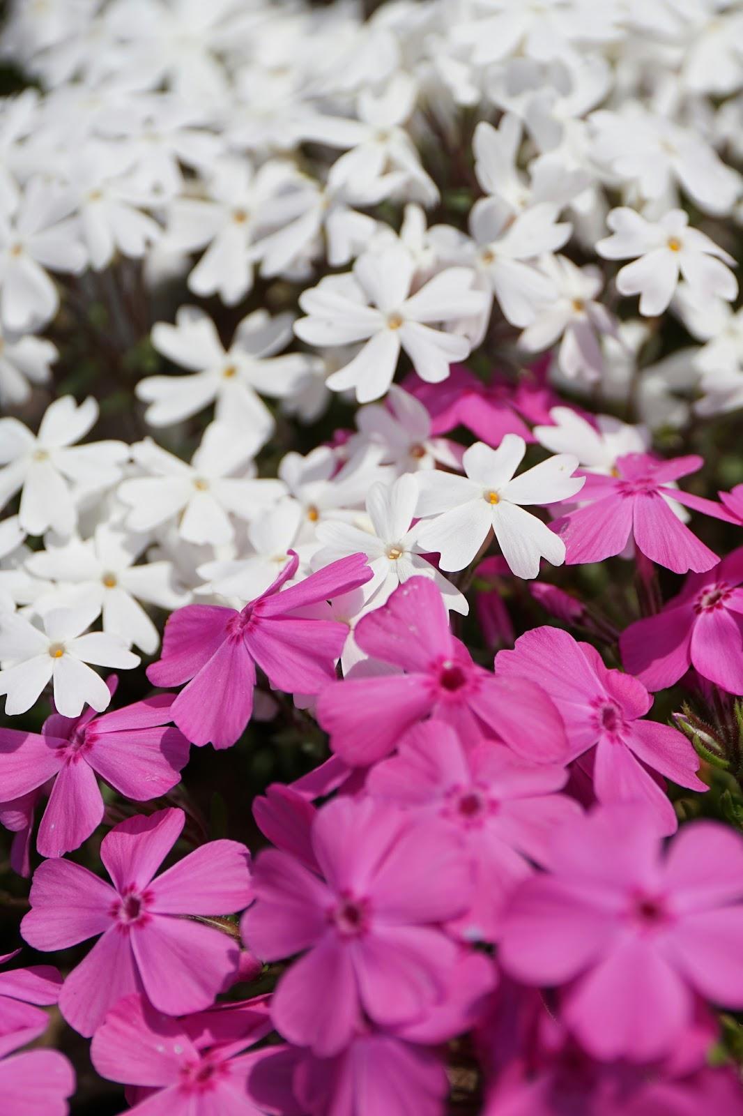 ピンクと白の芝桜