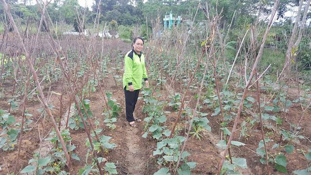 Ketua PKK Kabupaten Sekadau Kristina sedang melakukan pengecekan batang tanaman kacang yang tidak terkena batang tunjar