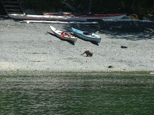 Racoon at James Island