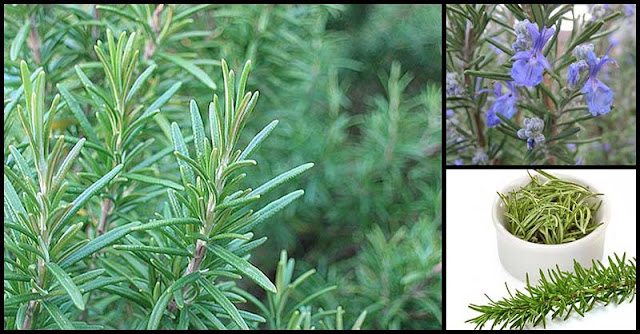Rosemary Can Help Promote Natural Hair Growth