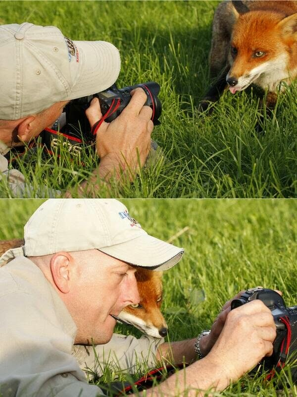Funny animals of the week - 21 February 2014 (40 pics), fox and photographer become friends